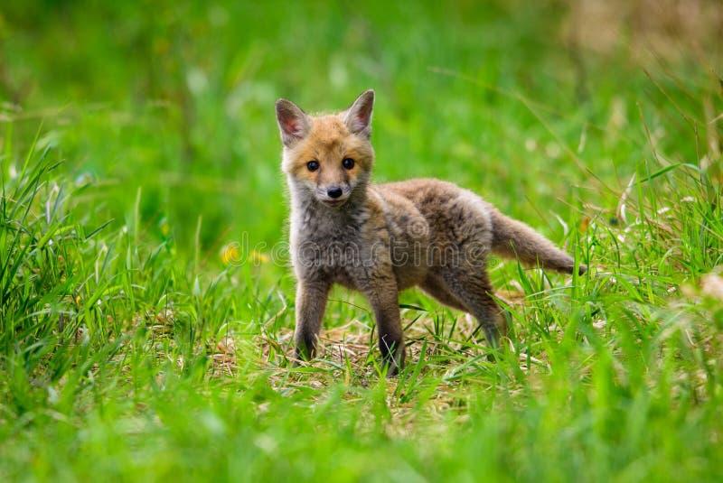 Czerwony Fox Gatunki długą historię skojarzenie z istotami ludzkimi Czerwony lis jest jeden znacząco furbearing zwierzęta har zdjęcia stock