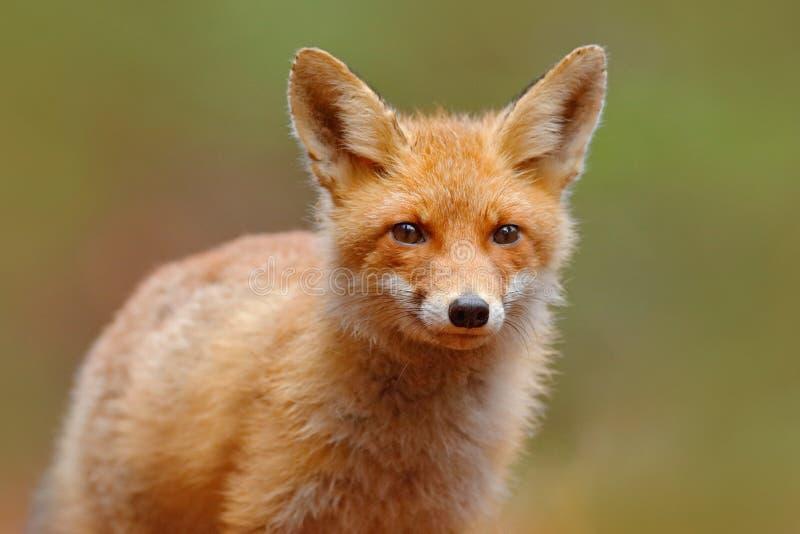 Czerwony Fox, Vulpes vulpes, śliczny portret pomarańczowy zwierzę przy zielonym lasem obrazy royalty free
