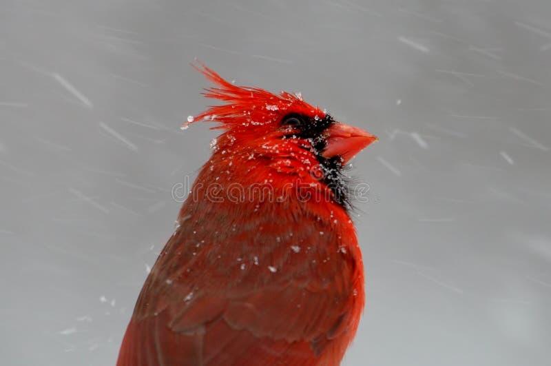 Czerwony Główny bój zimy burza fotografia royalty free