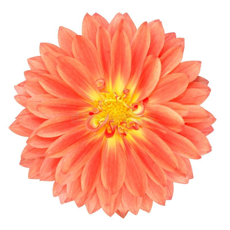 Czerwony garnka nagietka Gerbera kwiat Odizolowywający na bielu fotografia stock