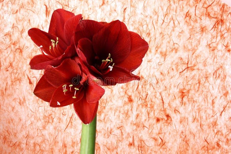 Czerwony gerber kwiat na barwionym tle zdjęcia royalty free