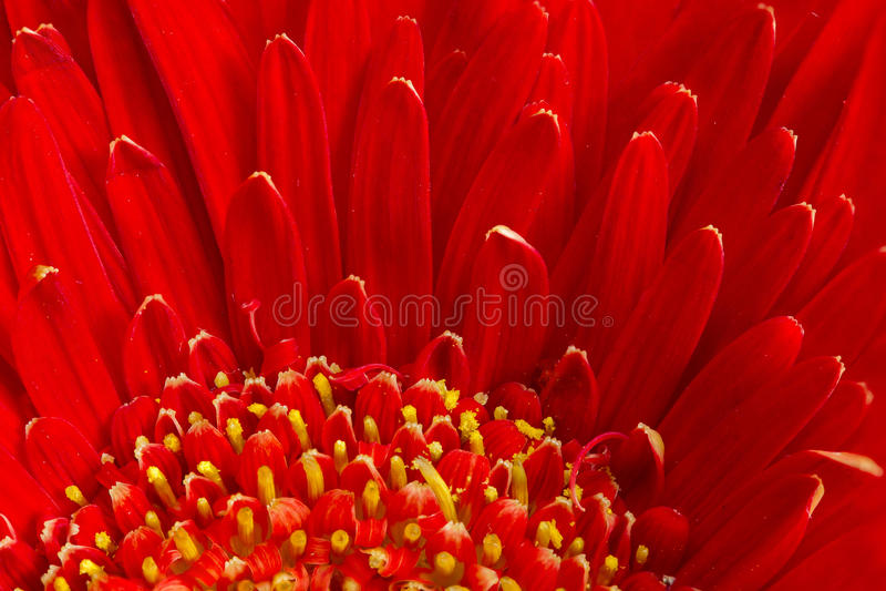 Czerwony Gerbera kwiat fotografia stock