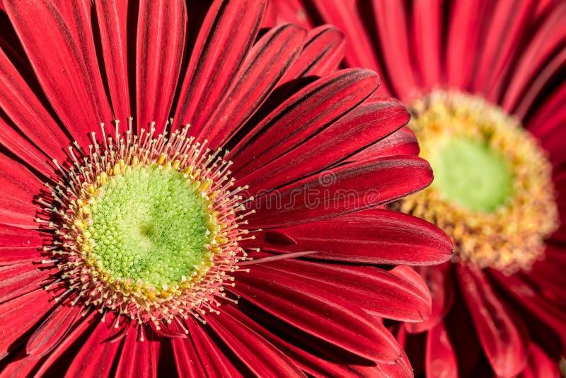 Czerwony Gerbera kwiat - Makro- fotografia z szczegółem czerwony gerbera kwiat pod naturalnym światłem słonecznym w ogródzie z in zdjęcia royalty free