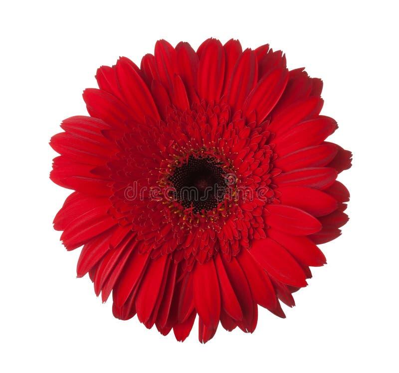 Czerwony gerbera kwiat odizolowywający na białym tle obraz stock