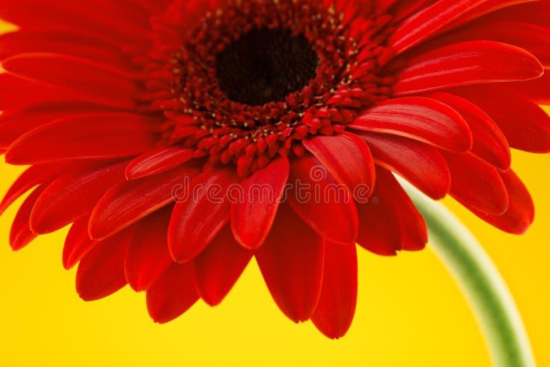 Czerwony gerbera kwiat tła błękitny pudełka pojęcia konceptualny dzień prezenta serce odizolowywająca biżuterii listu życia dutki zdjęcie royalty free