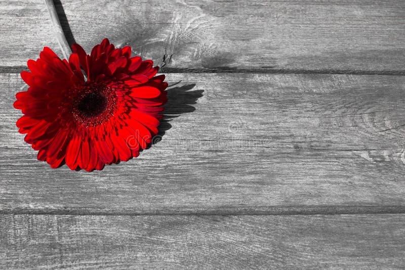Czerwony gerbera na drewnianym tle dla pocztówki fotografia royalty free