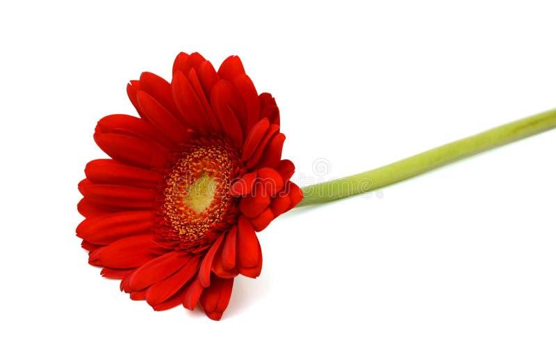 czerwony gerbera samotna zdjęcia royalty free