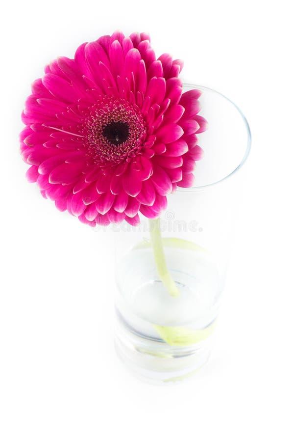 Czerwony gerbera w szklanej wazie zdjęcie stock