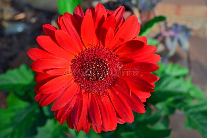 Czerwony gerbera fotografia royalty free