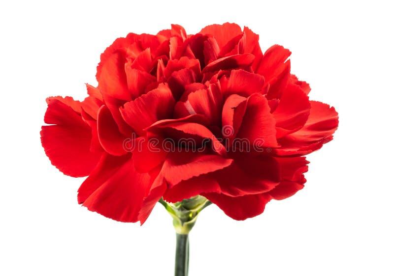 Czerwony goździk zdjęcie stock
