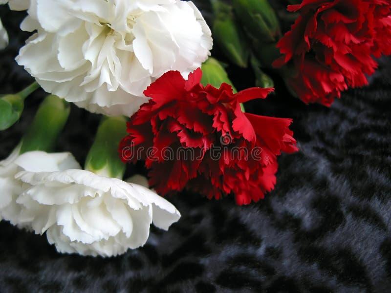 czerwony goździka white fotografia stock