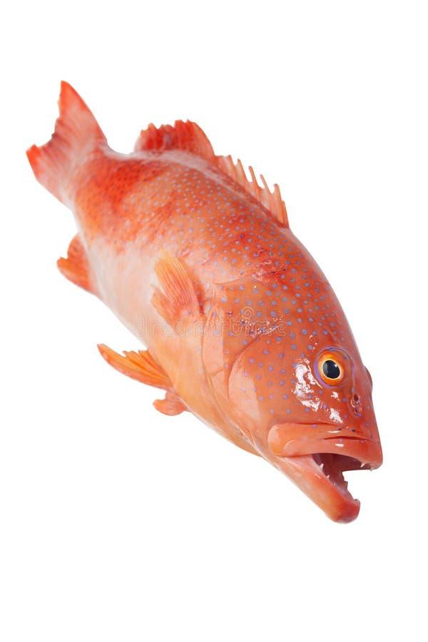 Czerwony grouper fotografia royalty free