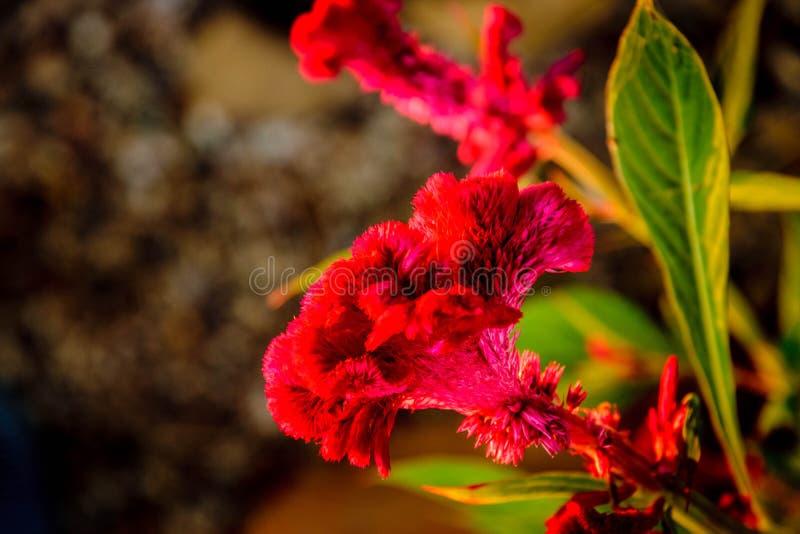 Czerwony grzebionatka mikro zdjęcia royalty free