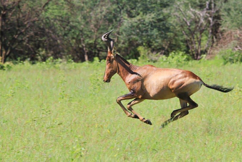 Czerwony Hartebeest prędkość i władza - przyrody tło - zdjęcie royalty free