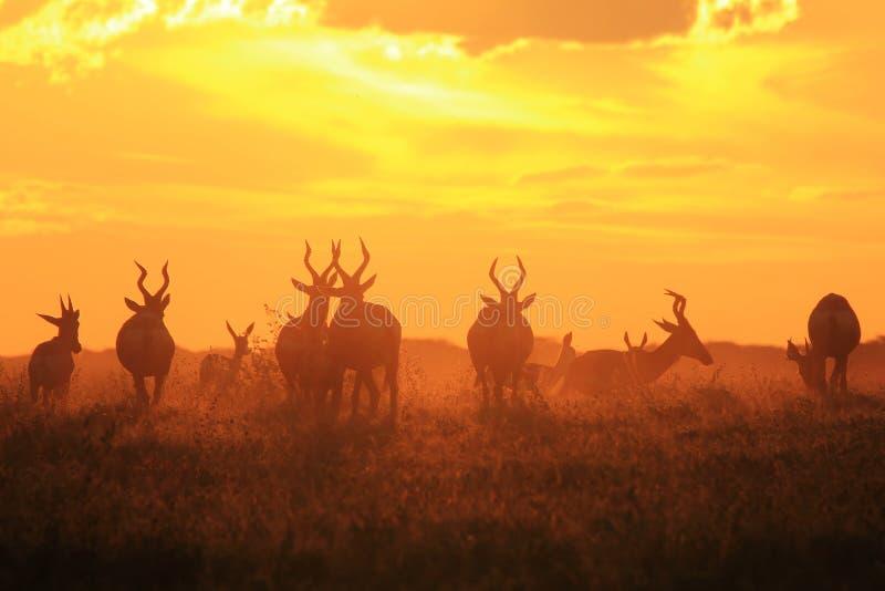 Czerwony Hartebeest zmierzchu spokoju piękno w naturze - przyrody tło - obrazy stock
