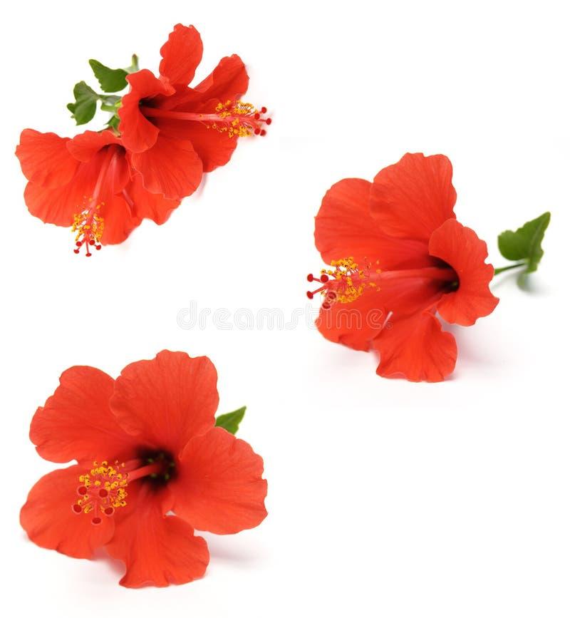 czerwony hibiskus obraz stock