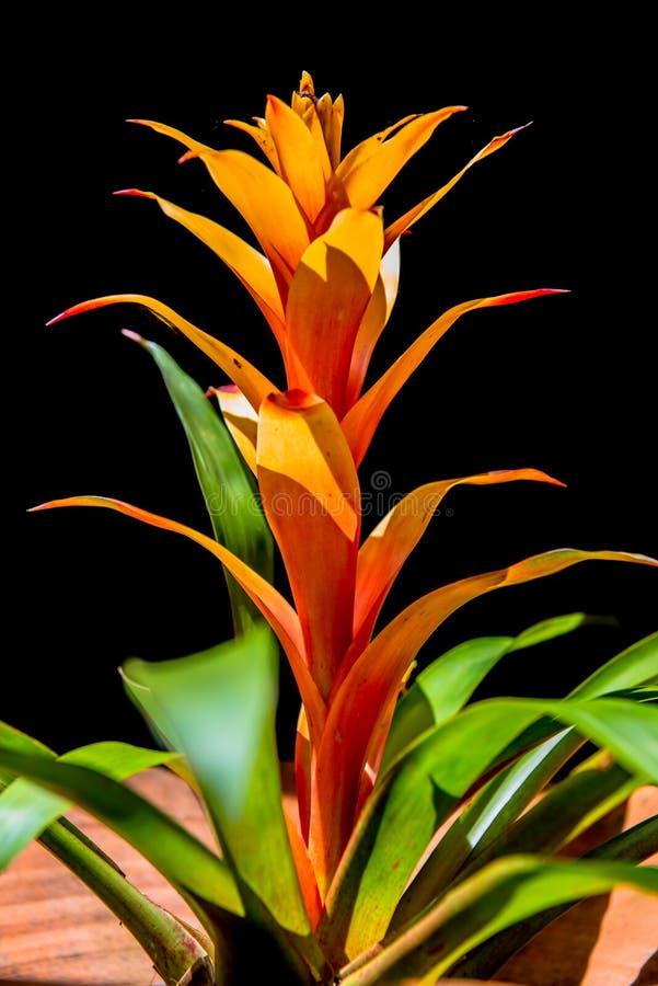 Czerwony i żółty Bromeliads obraz stock