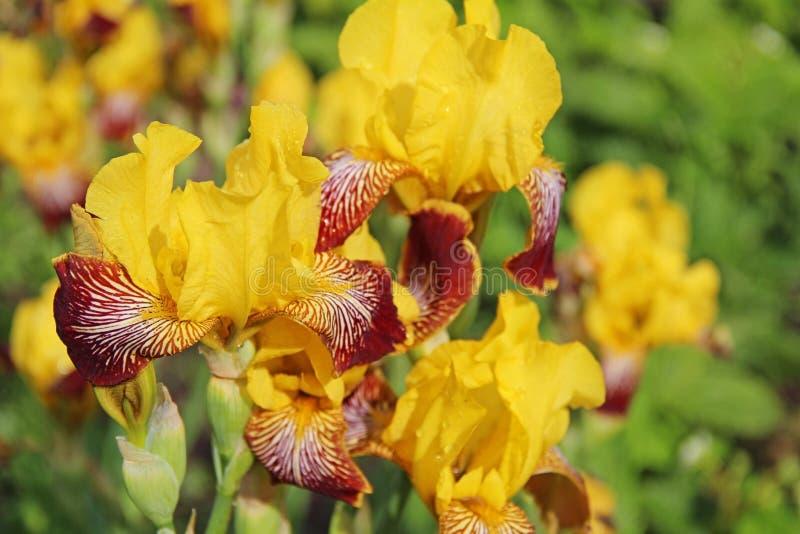 Czerwony i żółty irys kwitnie na ogrodowym lata tle obraz royalty free