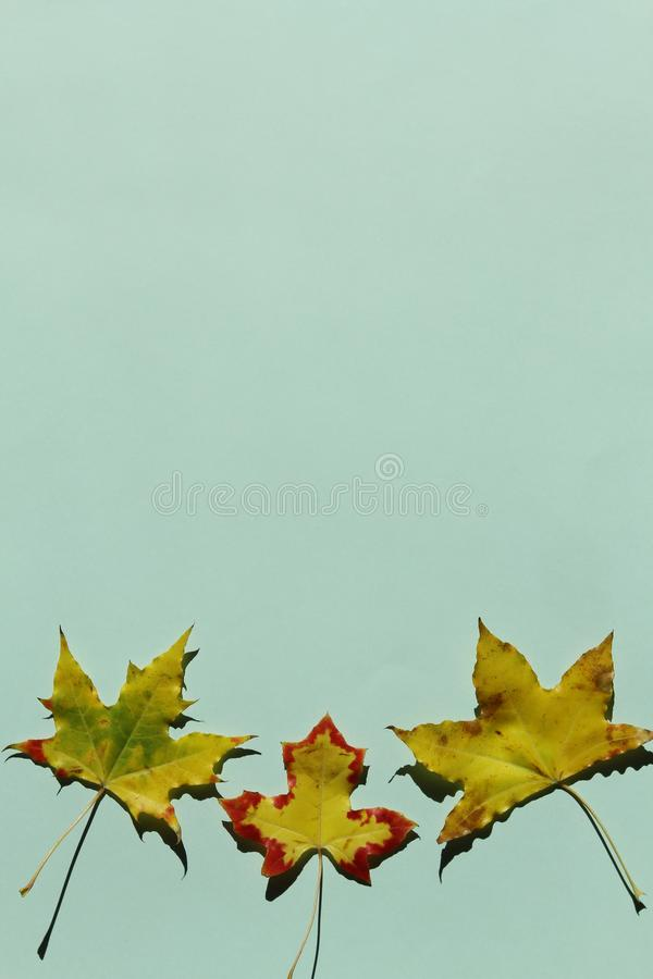 Czerwony i żółty liść klonowy na zielonym tle fotografia royalty free