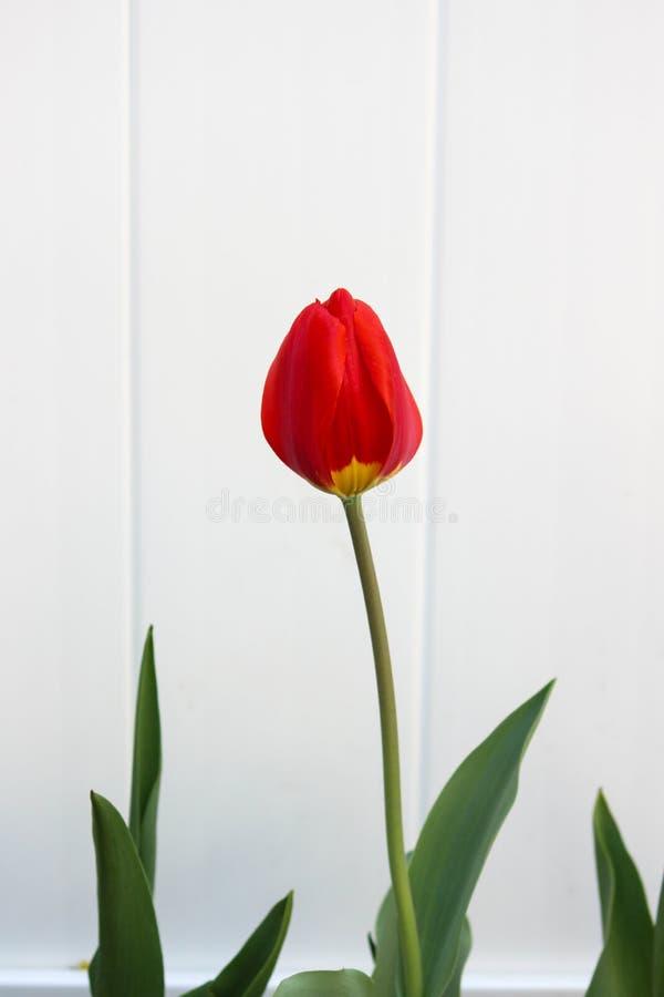 Czerwony i Żółty tulipan przeciw białemu tłu fotografia royalty free