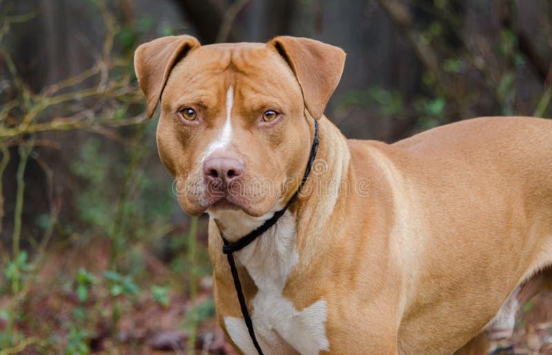 Czerwony i biały amerykanin Staffordshire Bull Terrier obrazy stock