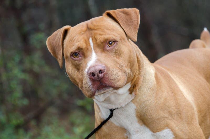 Czerwony i biały amerykanin Staffordshire Bull Terrier fotografia stock