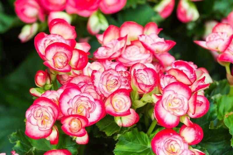 Czerwony i biały begonia kwiat w ogródzie fotografia stock