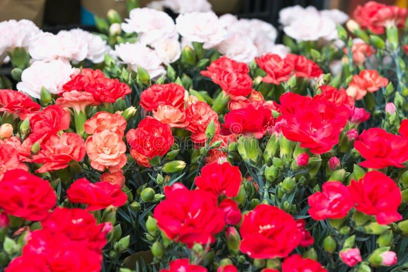 Czerwony i biały goździka tło przy kwiatu rynkiem w Hong Kong, selekcyjna ostrość Floristry i floriculture tło zdjęcie royalty free