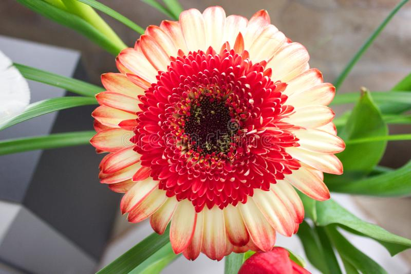Czerwony i biały kwiat na wazie fotografia royalty free