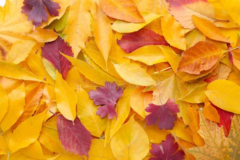 Czerwony i Pomarańczowy jesień liści tło Dziękczynienie Dzień obrazy stock