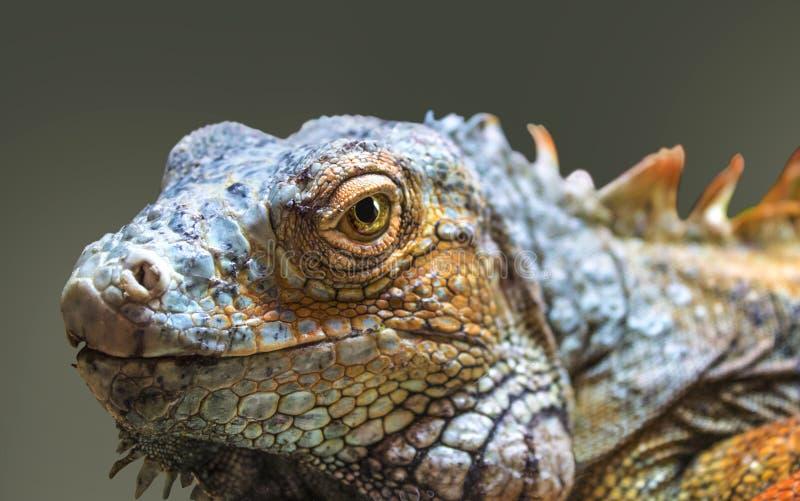 Czerwony iguana gada portret zamknięty w górę obrazy stock