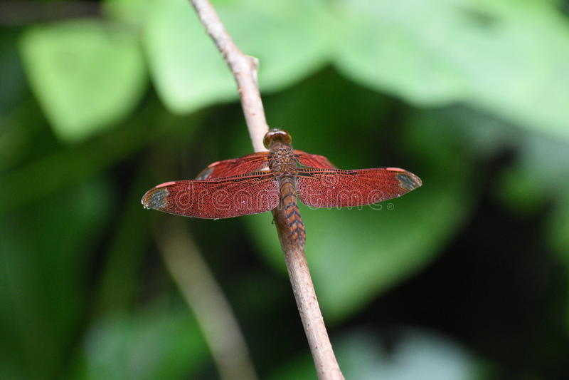 Czerwony insekt fotografia stock