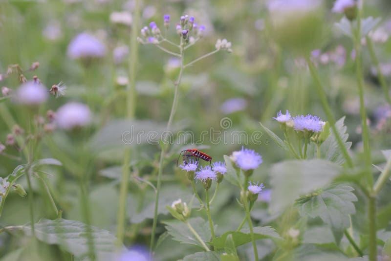 Czerwony insekt na dzikim kwiacie obrazy royalty free