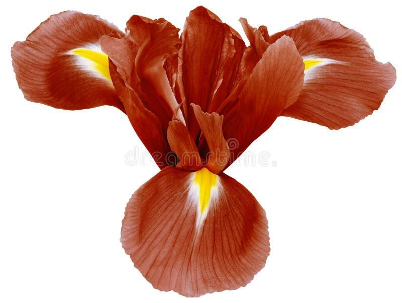 Czerwony irysowy kwiat, bia?y odosobniony t?o z ?cinek ?cie?k? zbli?enie ?adny cienie Dla projekta obraz stock