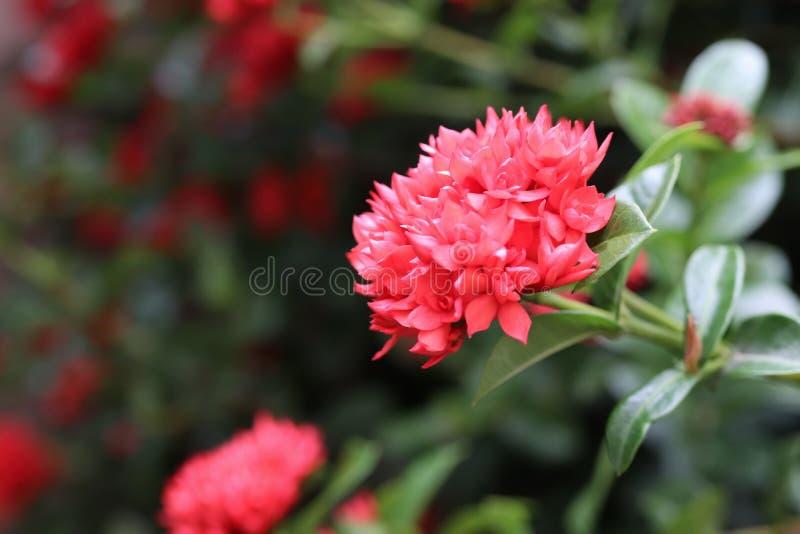 Czerwony ixora kwitnie na drzewie w ogródzie zdjęcie stock