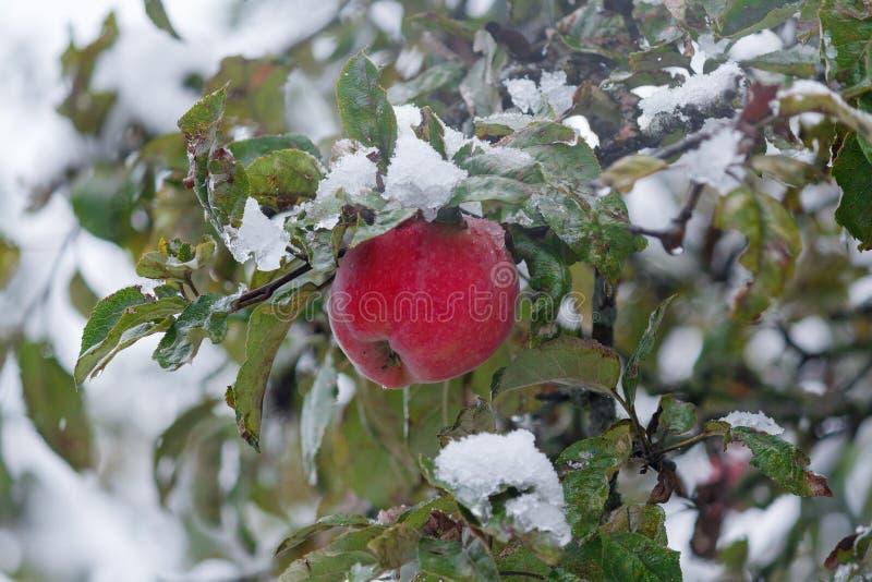 Czerwony jabłczany śnieg gnieżdżący się w ogródzie fotografia royalty free