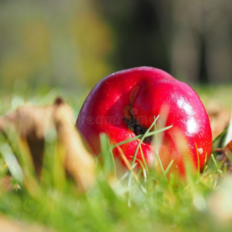 Czerwony jabłczany błyszczeć w świetle słonecznym w jaskrawym - zielona trawa obrazy stock