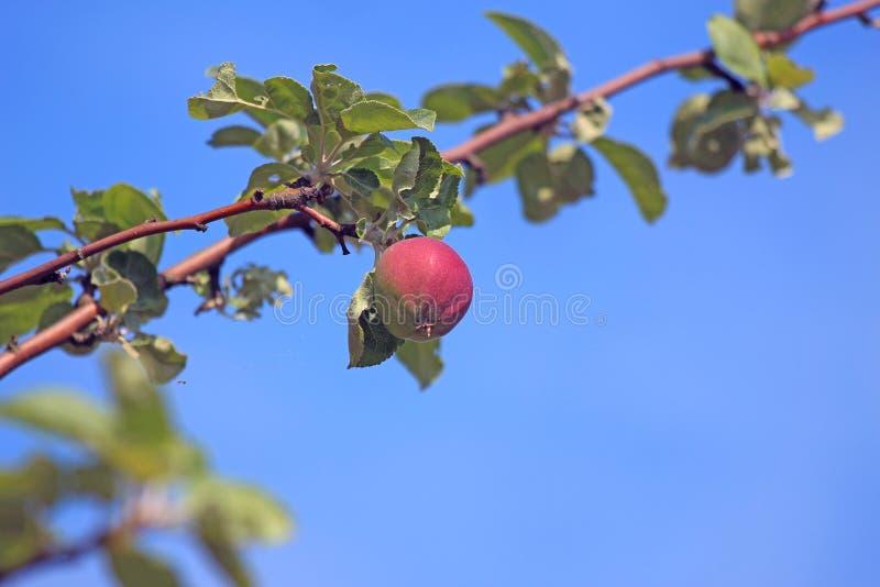 Czerwony jabłczany obwieszenie od gałąź obrazy stock