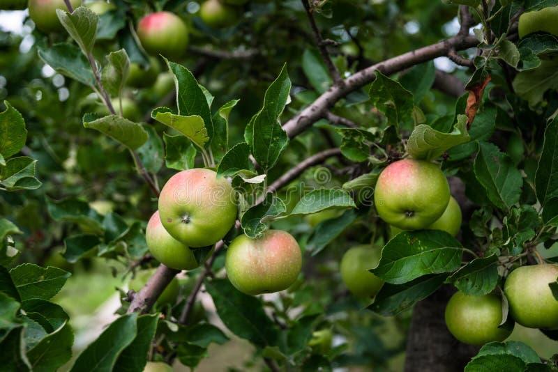 Czerwony jabłko i zielony jabłczany sad zdjęcie royalty free