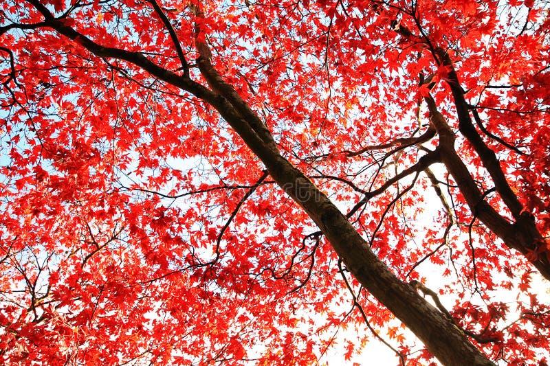 Czerwony Japoński Klonowy drzewny tło zdjęcie royalty free