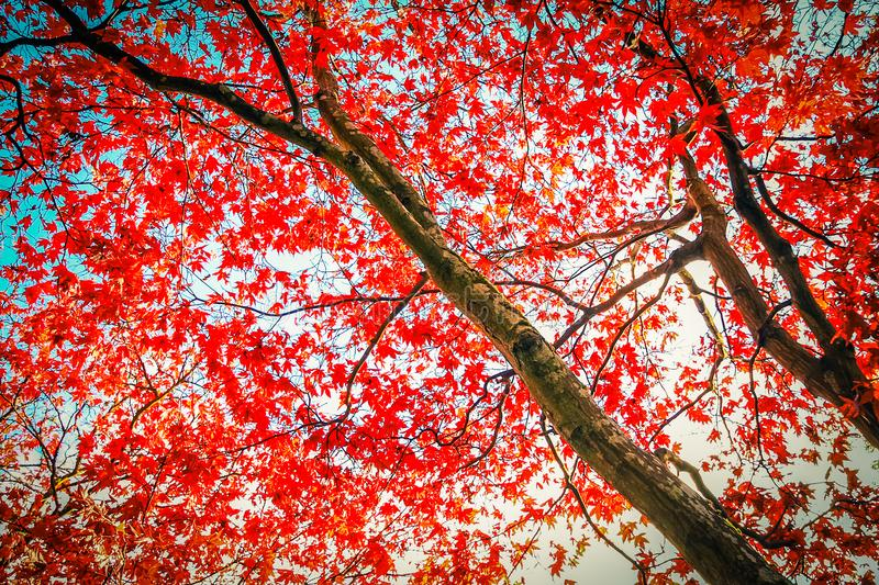 Czerwony Japoński Klonowy drzewo w parku obraz royalty free