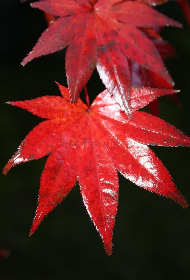 Czerwony Japoński liść obrazy stock