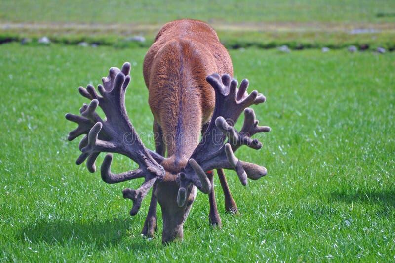 Czerwony jeleń z imponująco setem poroże obrazy royalty free