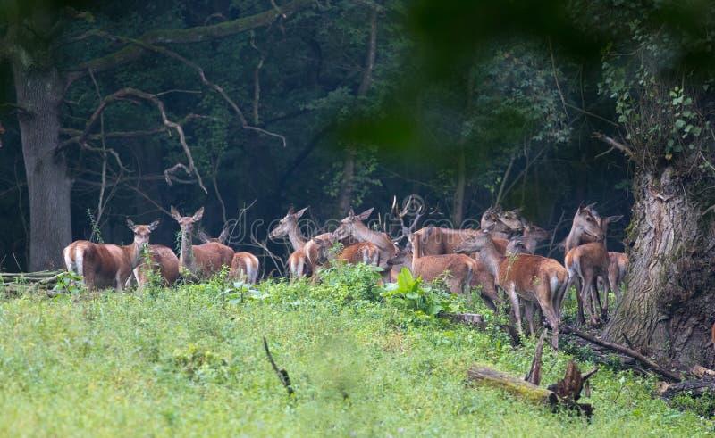 Czerwony jeleni stado w lesie fotografia stock