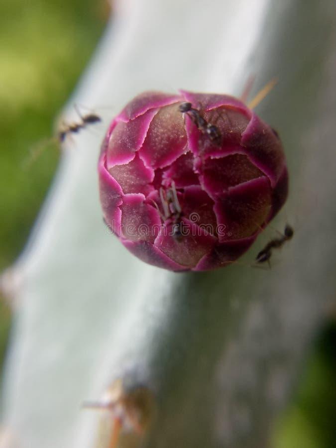 Czerwony kaktusowy kwiat z mrówkami fotografia royalty free