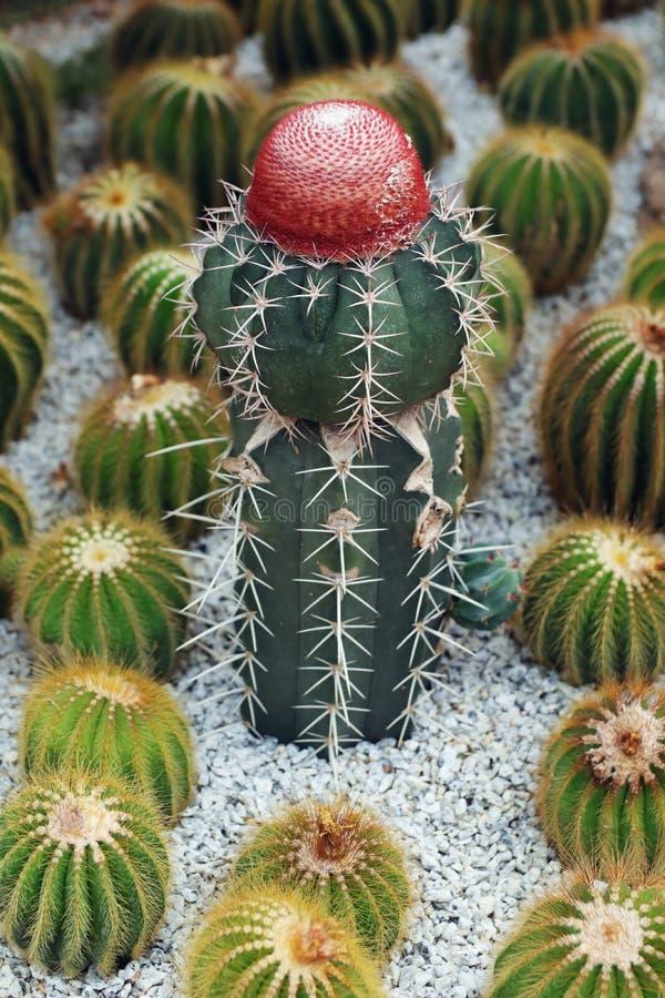 Czerwony Kaktusowy kwiatu kwitnienie w ogródzie fotografia stock