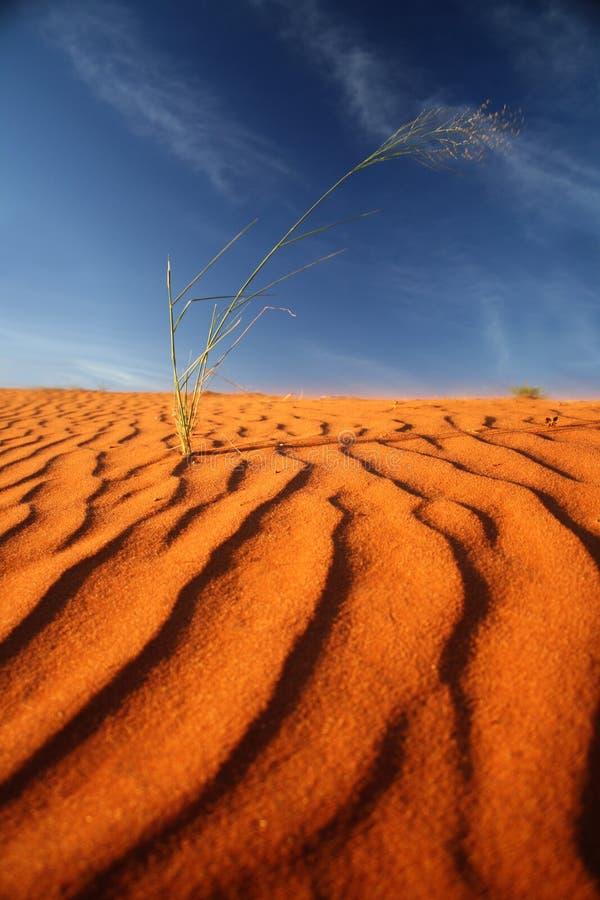 czerwony Kalahari wydmowy piasek Namibia zdjęcia royalty free