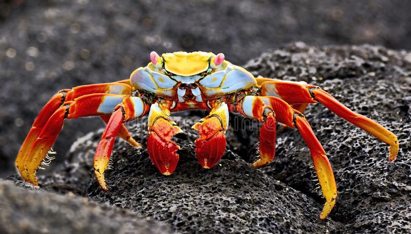 Czerwony kamiennego kraba Grapsus grapsus jest gatunki krab który jest rozlewny na południe - amerykański wybrzeże pacyfiku wlicz fotografia royalty free