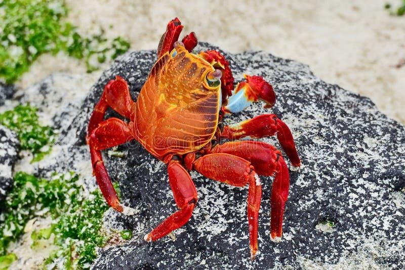 Czerwony kamiennego kraba Grapsus grapsus jest gatunki krab kt?ry jest rozlewny na po?udnie - ameryka?ski wybrze?e pacyfiku wlicz fotografia stock