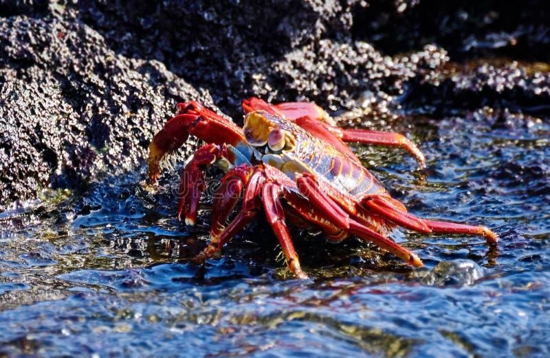 Czerwony kamienny krab jest gatunki krab który jest rozlewny na południe - amerykański wybrzeże pacyfiku wliczając Meksyk, obraz stock